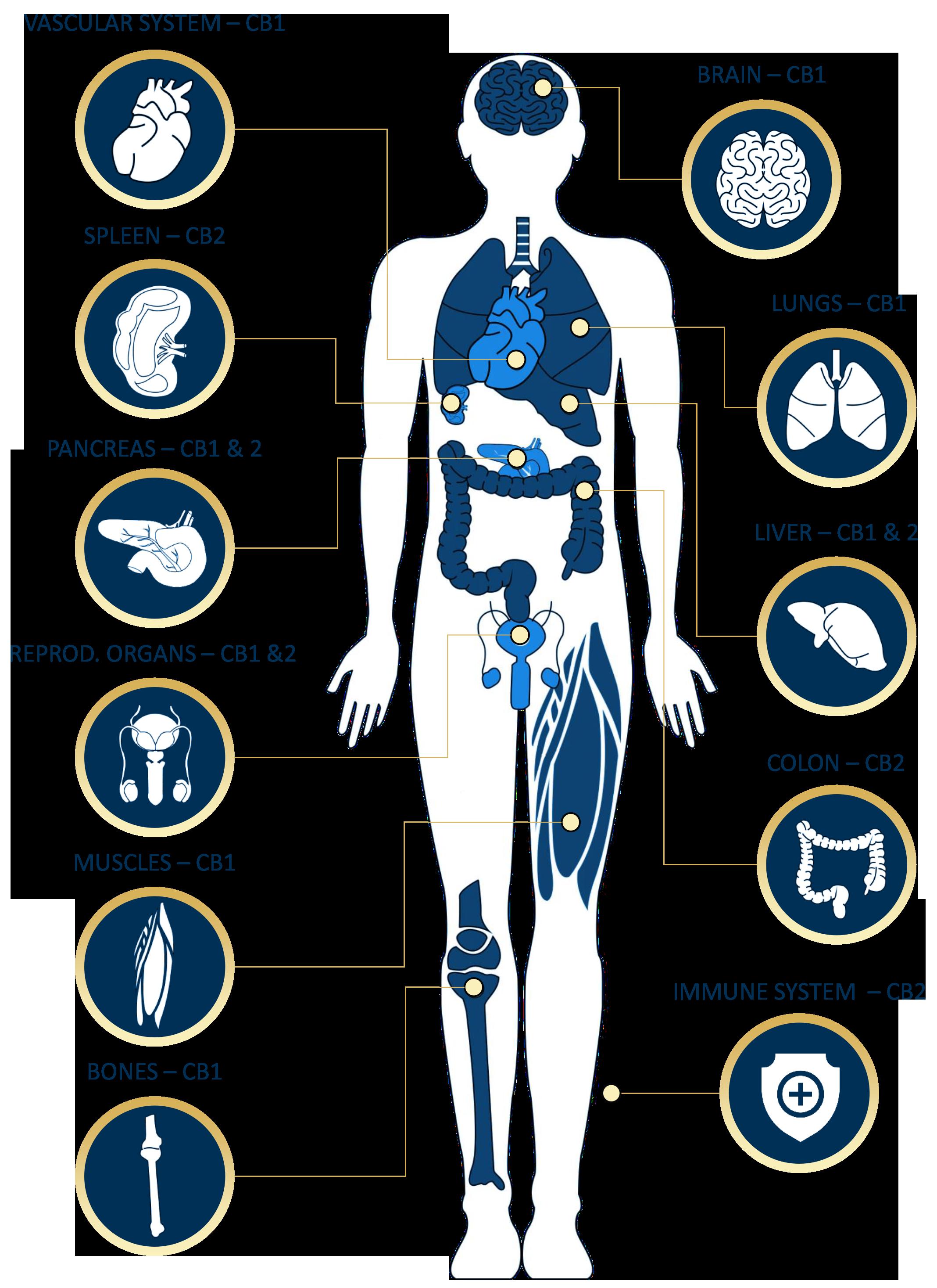 endo-system